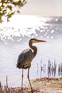 Permanent resident on Little Palm Island, the great blue heron named Spencer, Little Palm Island Resort, Florida Keys, USA