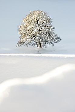 Snow covered tree near St Maergen, Black Forest, Baden-Wuerttemberg, Germany