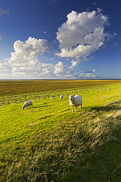 Sheep in a field near the dyke, Westerhever, Schleswig-Holstein, Germany