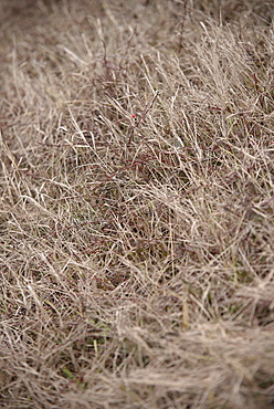 Dried out gras and bushes, Aalen, Ostalb province, Baden-Wuerttemberg, Germany