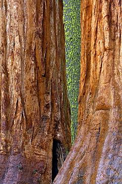 View at giant trees at Yosemite National Park, California, North America, America