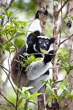 Indri eating leaves, Indri indri, rainforest, Andasibe Mantadia National Park, East-Madagascar, Madagascar, Africa
