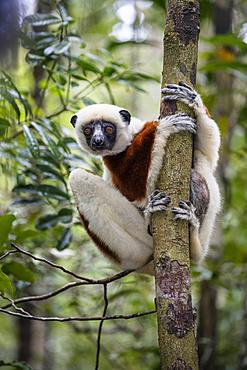 Coquerel's Sifaka, Propithecus coquereli, Ampijoroa Reserve, Madagascar, Africa