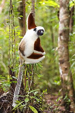 Coquerel Sifaka, Propithecus coquereli, Ampijoroa Reserve, Madagascar, Africa
