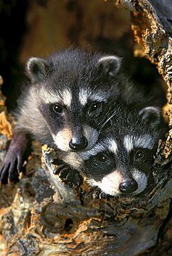 Raccoon young (Procyon lotor) in tree hollow. Spring. Rocky Mountains.