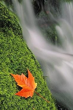 Mount head creek and maple leaf, Mount Carleton Provincial Park New Brunswick.