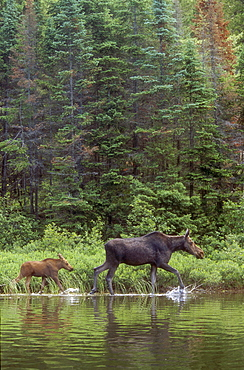 Cow and Calf Moose, Algonquin Park, Ontario