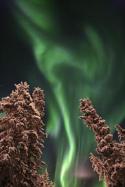 Aurora Borealis (Northern Lights) above Evergreen Trees in Winter, Teslin, Yukon