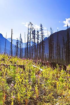 Destruction and renewal after 2003 Kootenay Wildfires, Marble Canyon, Kootenay National Park, British Columbia