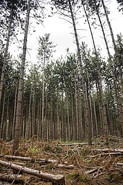 Pine Tree Forest in Muskoka, Ontario
