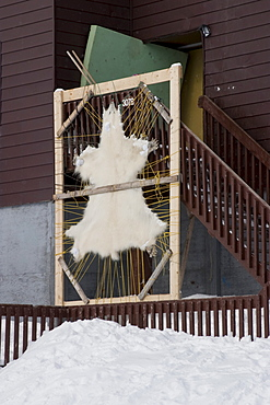 Polar Bear skin being stretched and dried for clothing, Iqaluit, Nunavut