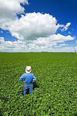 Man looks out over a mid-growth soybean field with cumulus clouds in the sky, near Dugald, Manitoba