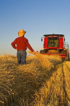 Artist's Choice: A combine harvester and farmers work in a field of swathed spring wheat near Dugald, Manitoba