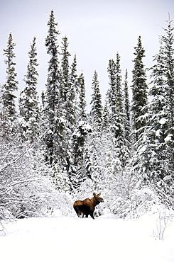 Moose in deep snow, near Teslin, Yukon