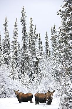 Two moose in deep snow, near Teslin, Yukon