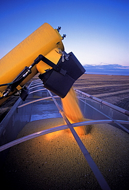 Farm Truck being loaded with Soybeans during the Harvest, near Lorette, Manitoba