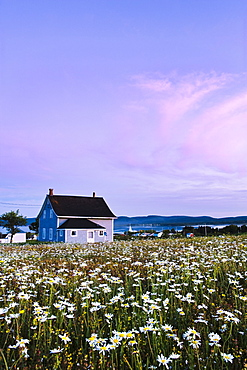 Oxeye daisy field, house and village of Barachois at dusk, Gaspesie, Quebec