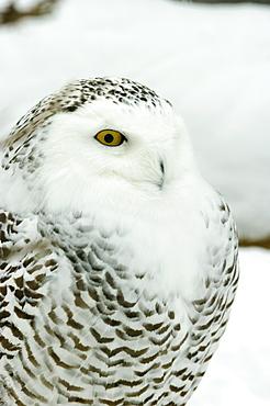 Snowy owl in Ecomuseum Zoo, Ste-Anne-de-Bellevue, Quebec, Canada