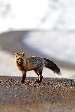 A cross fox stands on the Dempster Highway near the Yukon/NWT border, Canada