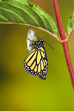 Monarch butterfly adult recently emerged from cocoon hangs onto empty chrysalis while pumping meconium from its abdomen into its newly forming wings. Summer, Nova Scotia. Series of 5 images.