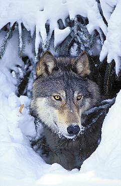Tk0530, Thomas Kitchin; Gray Wolf/Timber Wolf. Winter. Rocky Mountains. Canis Lupus.