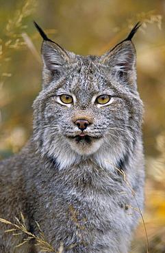 Tk0568, Thomas Kitchin; Lynx. Autumn. Rocky Mountains. North America. Felis Lynx Canadensis.