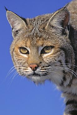 Tk0613, Thomas Kitchin; Bobcat, Female. Spring. Rocky Mountains. North America. Felis Rufus.