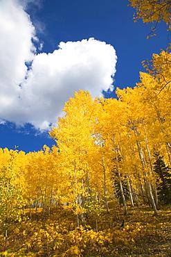 Colorado, Near Steamboat Springs, Buffalo Pass, Fall-colored aspens against blue sky.