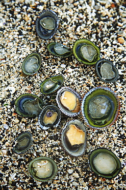 Hawaii, Oahu, A bunch of fresh Limpets Opihi laying on sand.