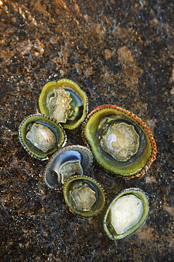 Hawaii, Oahu, A bunch of fresh Limpets Opihi laying on a rock.