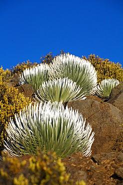Hawaii, Maui, Haleakala National Park, Young Silversword plants.