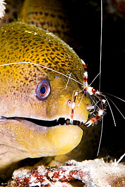 Micronesia, Yap, Banded box shrimp (Stenopus hispidus) on nose of Giant moray eel (Gymnothorax breedeni)