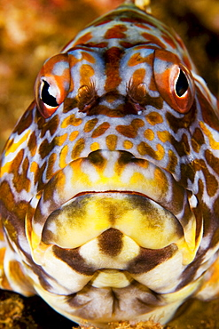 Hawaii, Stocky hawkfish (cirrhitus pinnulatus), Close-up of face.