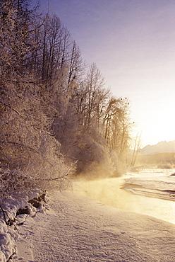 Alaska, Haines Bald Eagle Preserve, Bald eagles in trees along snowy Chilkat River.