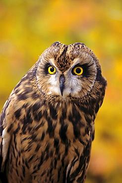 Colorado, view of a short eared owl.