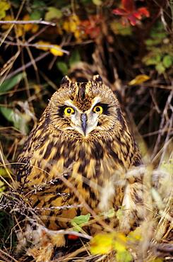 Short-eared Owl, Asio flammeus, Front Range, Colorado