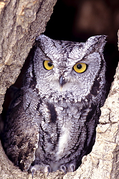 Western Screech Owl (Otus kennicottii) in hollow cottonwood.