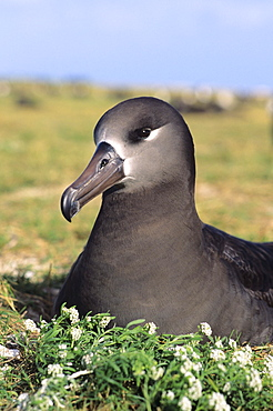 Northwest Hawaiian Islands, Midway Atoll, Sand Island, Black-footed Albratoss (Diomedea nigripes).