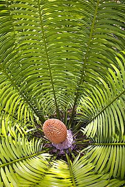 Fiji, Denarau Island, Palm related plant close-up.