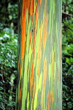 Hawaii, Maui, Hana, Rainbow eucalyptus tree trunk.