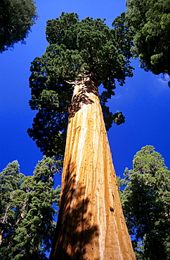 California, Giant Sequoia Tree National Park, view of tree from way below.