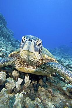 Hawaii, Close-up of Green Sea Turtle (Chelonia mydas) on reef.
