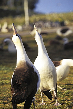 Midway Atoll, Laysan albatross (Diomedea immutabilis) courting, pointing beaks in air.