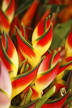 Hawaii, Big Island, Hilo, close-up of bunch of Heliconia.