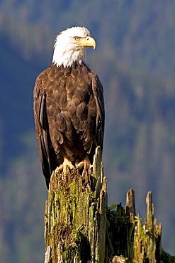 Alaska, Juneau, bald eagle (Haliaeetus Leucocephalus) perched upon an old piling.