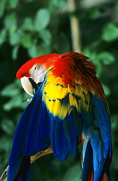 Hawaii, Scarlet Macaw (ara macao) on tree branch.