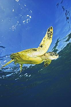 Hawaii, Green Sea Turtle (Chelonia mydas) swimming near surface.
