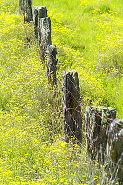 Hawaii, Big Island, Kohala Mountains, Parker Ranch, field of yellow wildflowers with a fence running through it.