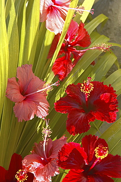 French Polyesia, Tahiti, Huahine, red and pink hibiscus poking through green leafs