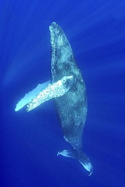 Hawaii, Humpback whale (megaptera novaeangliae) swimming in deep blue ocean.